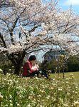 sakuraseira595969012_163large.jpg